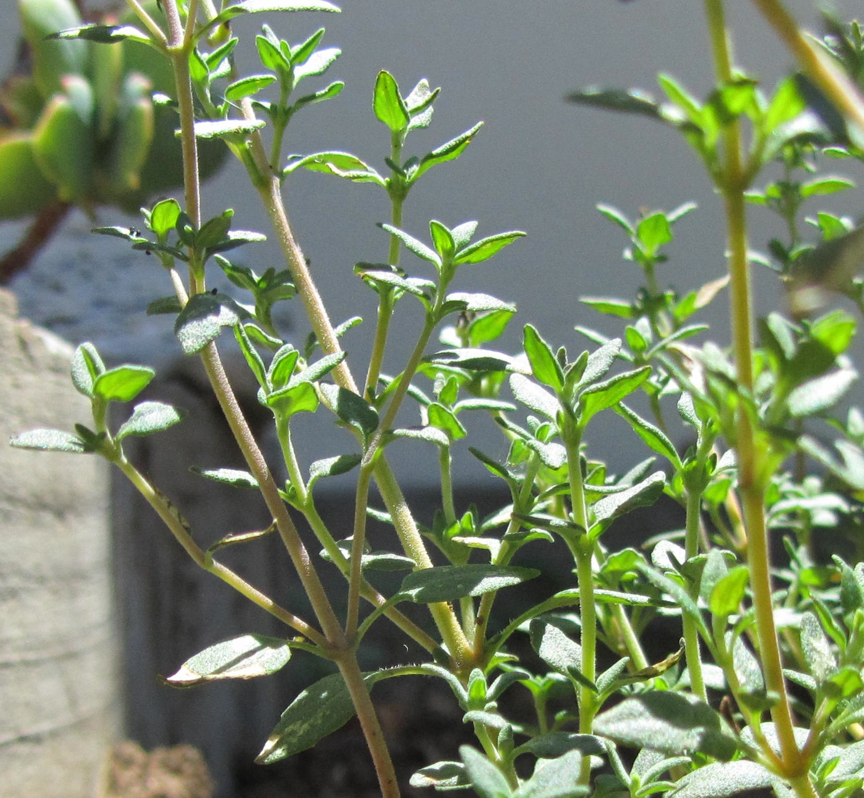 Thyme herb - useful properties, contraindications, use 7